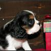Cutest  ever  A Tri Colored   Cavalier King Charles Spaniel