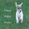 Jack Russell Terrier  jumping in the air   Happy Happy Happy
